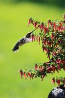 Hummingbird in the Honeybells by Carol Groenen