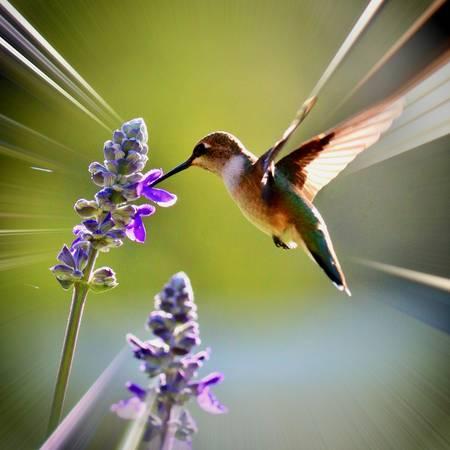 Hummingbird Radiating Light