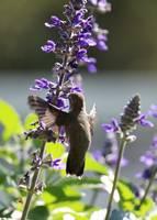 Hummingbird Hug by Carol Groenen