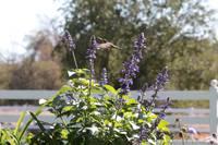 Hummingbird Hangout by Carol Groenen