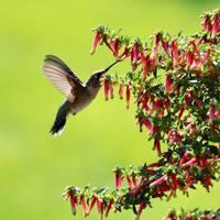 Hummingbird and Honeybells Square by Carol Groenen