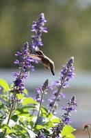 Sweet Hummingbird in Purple Salvia by Carol Groenen