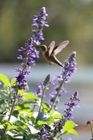 Classic Hummingbird Pose by Carol Groenen