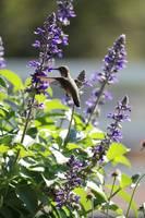Hummingbird in the Salvia by Carol Groenen