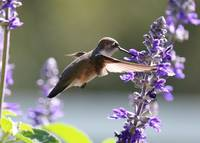 Hummingbird World Close Up by Carol Groenen