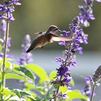 Hummingbird World Square by Carol Groenen