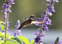 Hummingbird World with Purple Flowers by Carol Groenen