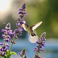 Good Morning Hummingbird Square by Carol Groenen