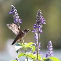 This Sweet Hummingbird Square by Carol Groenen