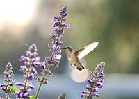 Sunshine Hummingbird by Carol Groenen