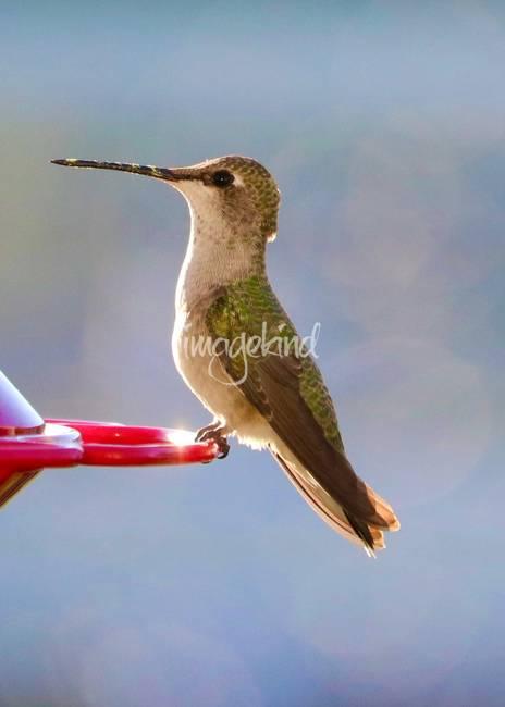 Pretty Hummingbird Portrait b