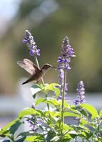 Summer Sun Hummingbird by Carol Groenen