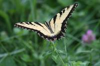 Tiger Swallowtail Butterfly 2020 I