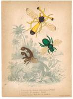 Bugs - Fly Bee and Wild Bee c.1857 Hand Color Inse