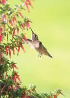 Hummingbird at the Honeybells by Carol Groenen