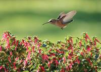 Hummingbird over the Honeybells by Carol Groenen