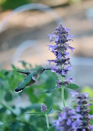 Hummingbird Sipping on Agastache