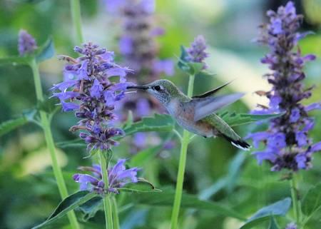 Hummingbird in Green and Purple
