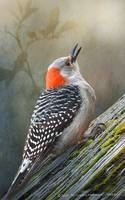 red-bellied woodpecker forest