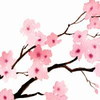 Cherry Blossoms Triptic 1 Art Prints & Posters by David Rogers