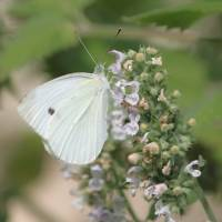 White Cabbage Butterfly on Catnip by Through The Split Window