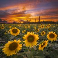 Sunflower Field Sunset by Cody York_X7A5310 Art Prints & Posters by Cody York