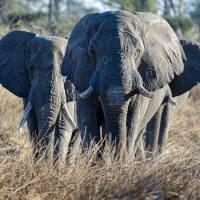 """""""ElephantGroupof3inGrass"""" by JPRVenturesLLC"""