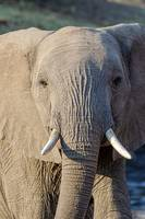 Elephant w/ Gorgeous Eyes Looking & Walking to You
