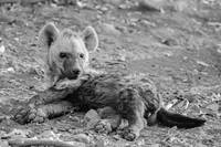 Baby Hyena Relaxing Black and White Photograph