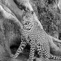 African Leopard Sitting, Black and White Photo