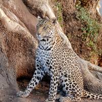 Leopard Sitting in Botswana Photograph