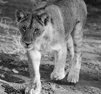 Young Lion Walking with Tongue Out Black & White