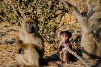 Baboon Family in Botswana Photograph
