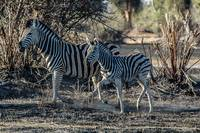 Zebra Baby and Mom Running in Botswana Photograph