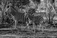 Zebra Baby and Mom Running in Black and White