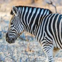 """Zebra Profile in Botswana Photograph"" by JPRVenturesLLC"