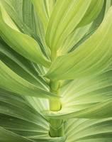 Veratrum (Corn Lily) Botanical Detail 2 by David Kocherhans