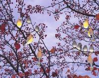 cedar waxwings and berries