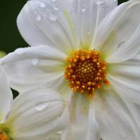 White Dahlia with Droplets Art Prints & Posters by Carol Groenen