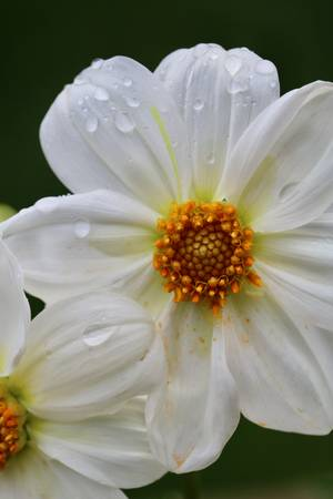 White Dahlia with Droplets
