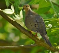 Curious Mourning Dove