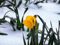 daffodil-in-snow-too-soon-or-late