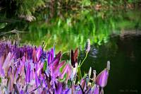 Purple by the Pond