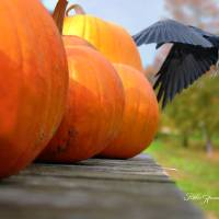 Pumpkins On Flatbed Wagon And Crow by Robin Amaral Art Prints & Posters by Robin Amaral