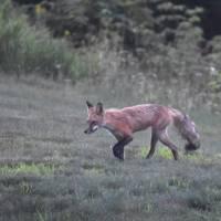 """""""Hunting Fox"""" by GraniteLeafMedia"""