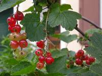 Plump and Translucent Berries