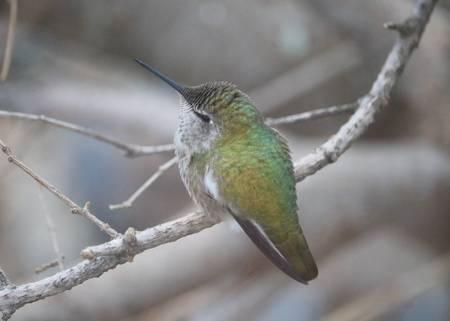 Enchanting Hummingbird on Winter Branch
