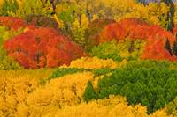 Aspens in autumn_ScCO-0220