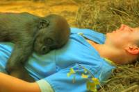 Baby Gorilla with CMZ staff snoozing on the job
