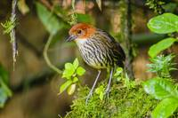 Chestnut-Crowned Antpitta_BiNT-2691